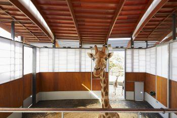 Giraffe habitat